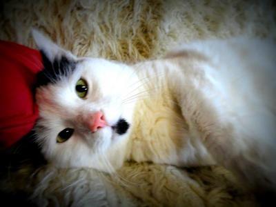 Turkish Van Cat Breed Information - Cat Breeds at ThePetOwners
