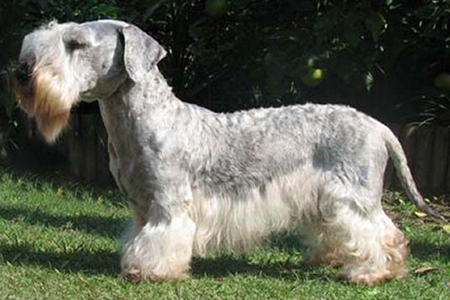 Cesky Terrier Information - Dog Breeds at thepetowners