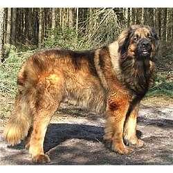 Leonberger Information - Dog Breeds at thepetowners