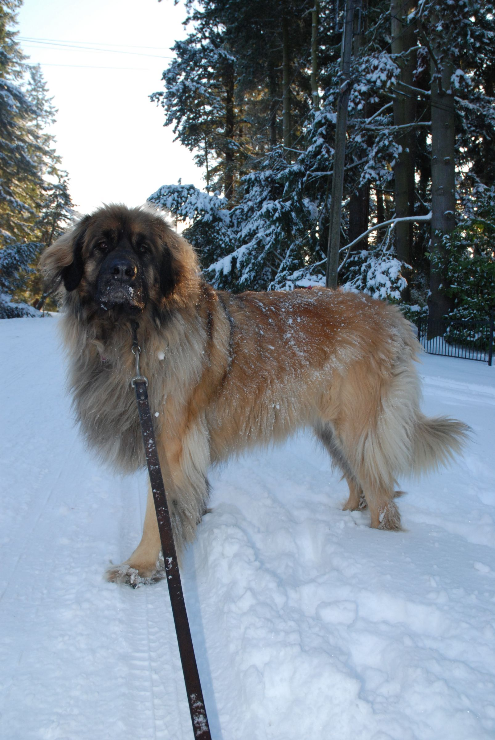 Leonberger Information Dog Breeds At Thepetowners